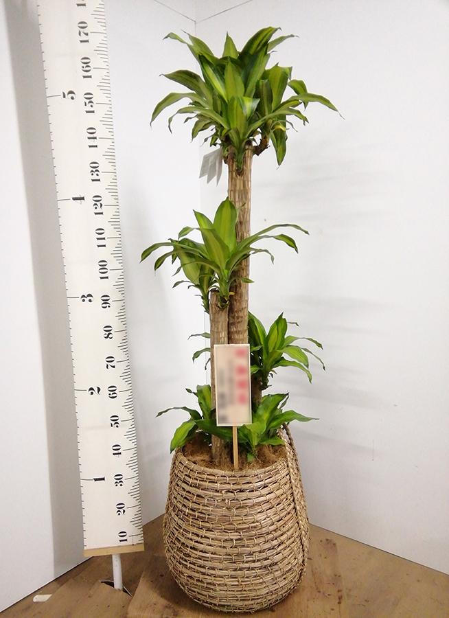 観葉植物 ドラセナ 幸福の木 10号 ノーマル リゲル 茶 付き