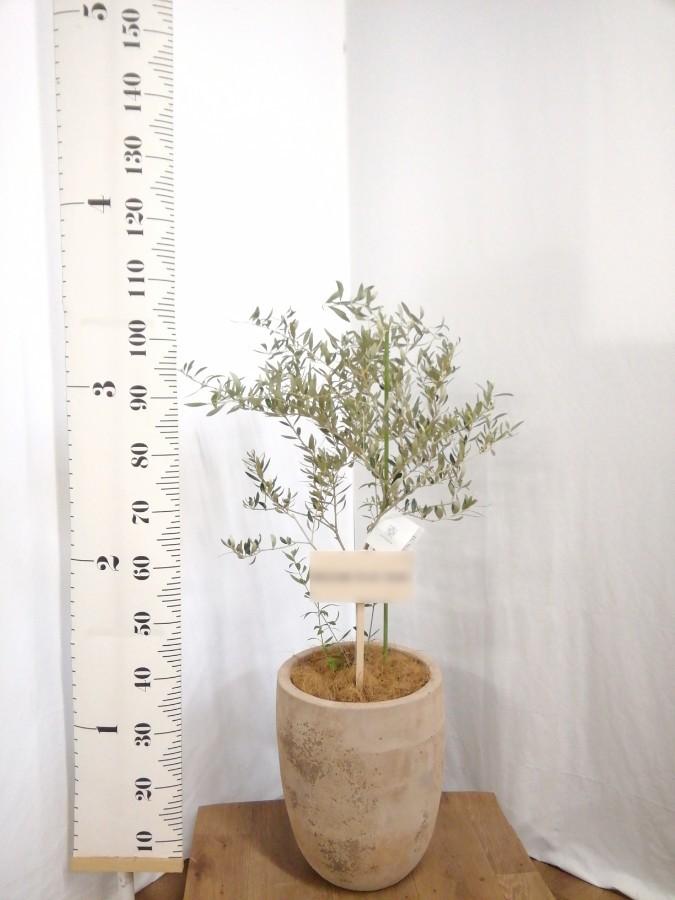 観葉植物 オリーブの木 8号 カヨンヌ ルーガ アンティコ アルトエッグ 付き