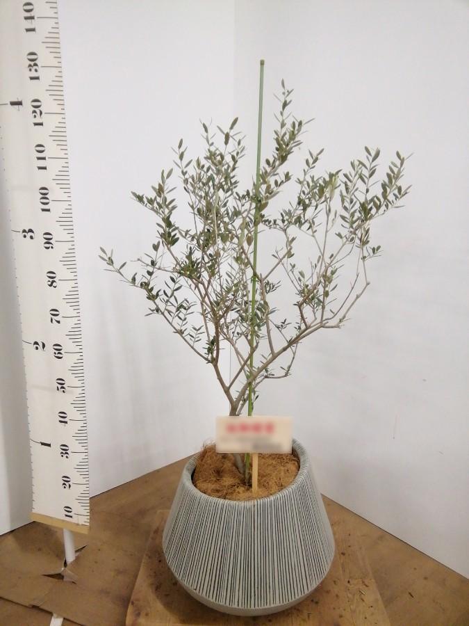 観葉植物 オリーブの木 8号 カリフォルニアクイーン エディラウンド グレイ 付き