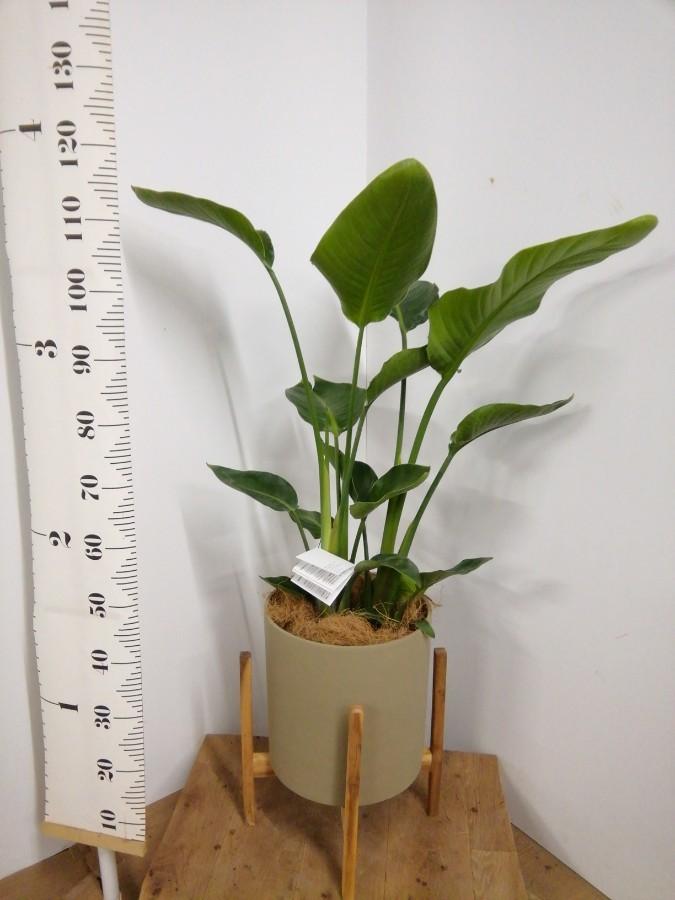 観葉植物 オーガスタ 8号 ホルスト シリンダー オリーブ ウッドポットスタンド付き