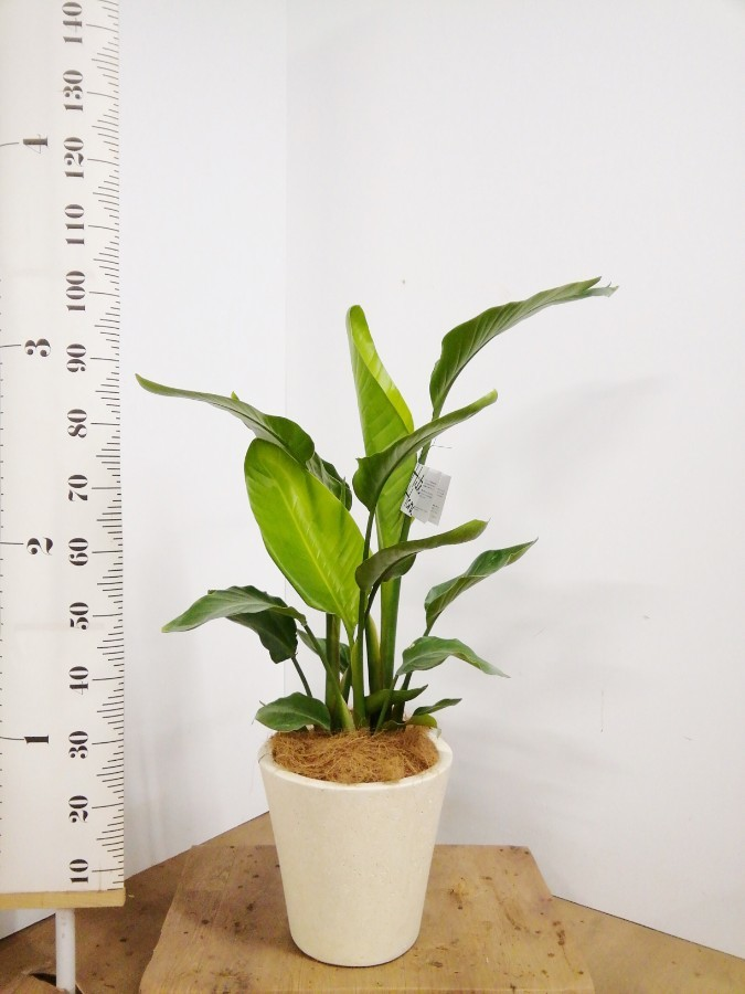 観葉植物 オーガスタ 8号 フォリオソリッド クリーム 付き