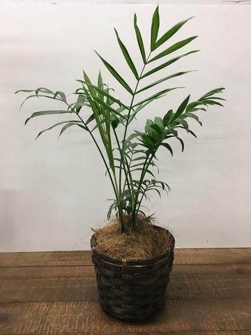 観葉植物 テーブルヤシ 4号 竹バスケット 付き