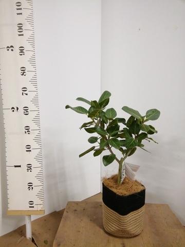 観葉植物 フィカス ベンガレンシス 6号 ストレート リブバスケットNatural and Black 付き