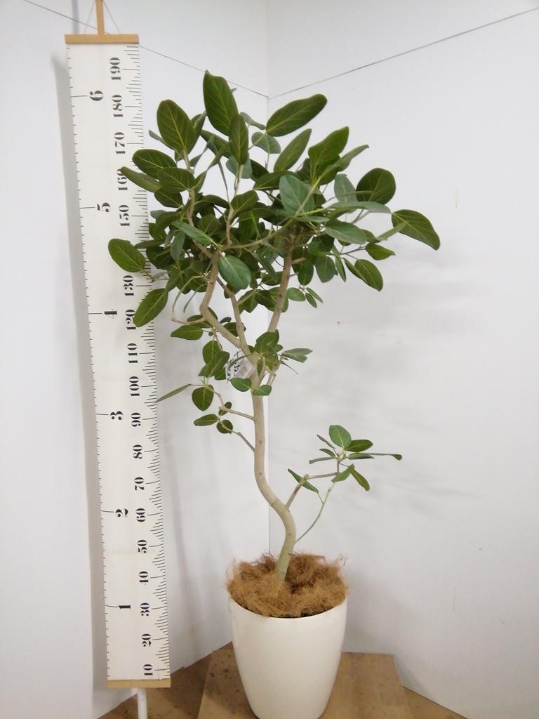 観葉植物 【175cm】【鉢カバー付】フィカス ベンガレンシス 10号 #22048