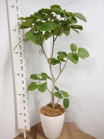 観葉植物 10号 ノーマル 【180cm】フィカス ウンベラータ 10号 #22735 E