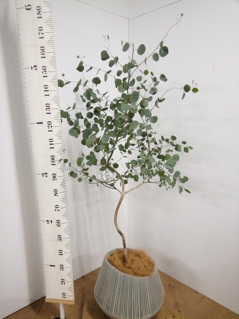 観葉植物 ユーカリ 8号 ポリアンセモス エディラウンド グレイ 付き