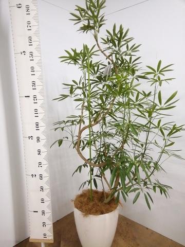 観葉植物 シェフレラ アンガスティフォリア 10号 曲り ラスターポット付き