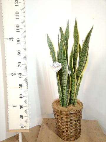 観葉植物   サンスベリア 8号 トラノオ 竹バスケット 付き
