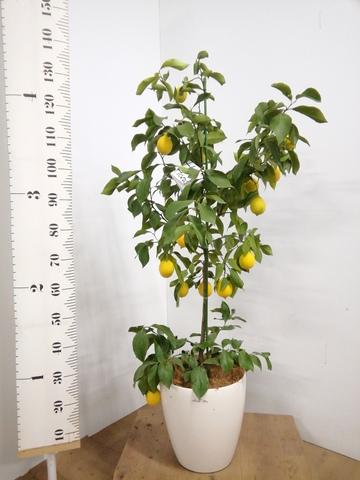 レモンの木 8号 リスボン ラスターポット 付き