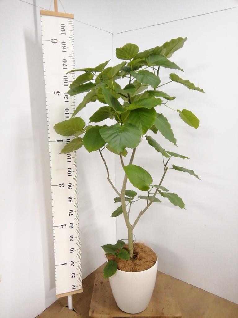 観葉植物 【175cm】フィカス ウンベラータ 10号 #22734 D