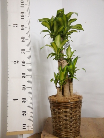 観葉植物 ドラセナ 幸福の木 8号 ノーマル 竹バスケット 付き