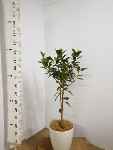 観葉植物 フランスゴムの木 8号 ノーマル ラスターポット 付き