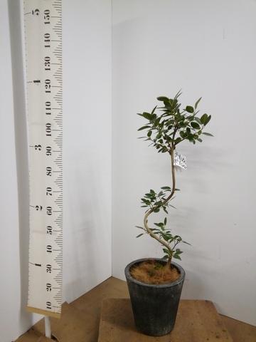 観葉植物 フランスゴムの木 8号 曲り フォリオソリッド ブラックウォッシュ 付き