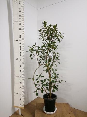観葉植物 8号 曲り 【155cm】フランスゴムの木 8号 曲り #22157