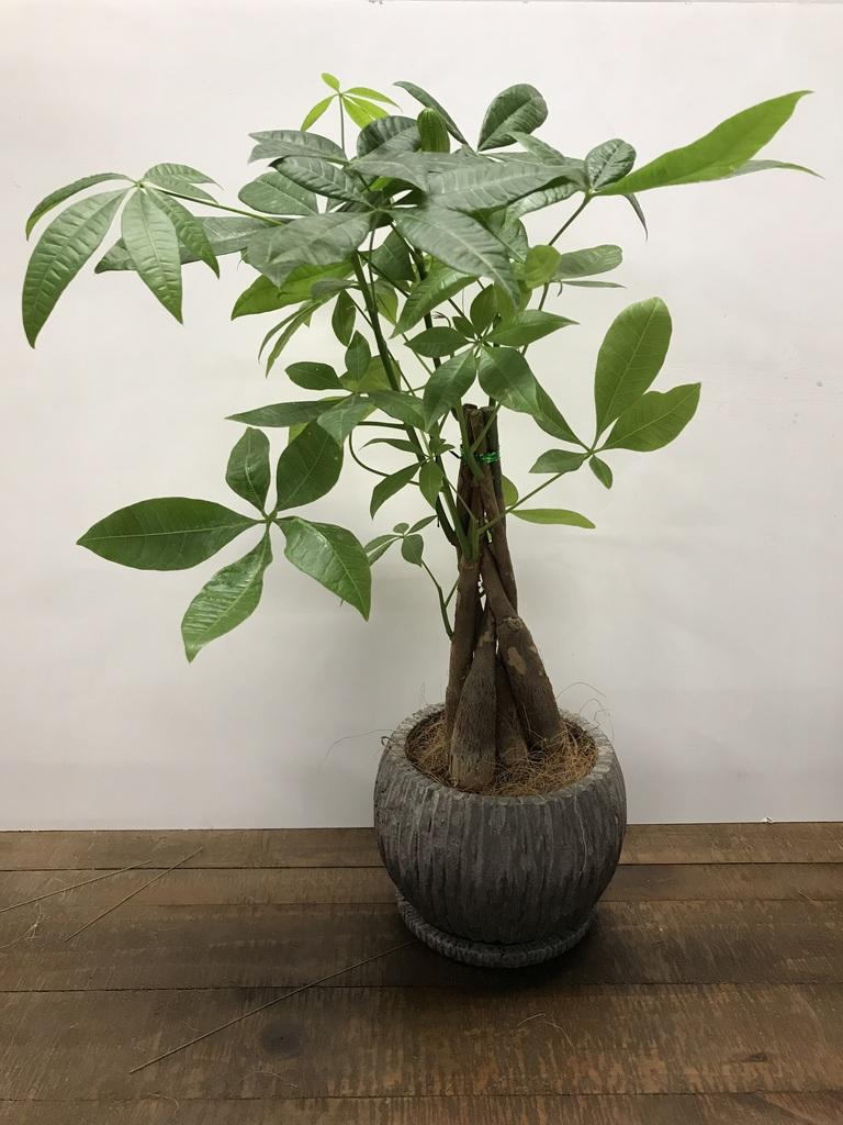 観葉植物 パキラ 4号 ねじり ストーン ウェア セラミック 付き