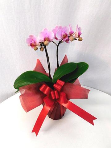 ミニ胡蝶蘭 ピンク 2本立ち 花びら小ぶり テーブルタイプ