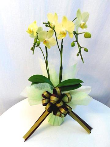 ミディ胡蝶蘭 黄色 2本立ち