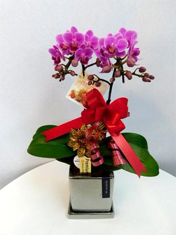 ミディ胡蝶蘭 ピンク 2本立ち クローム鉢付き クリスマスver.