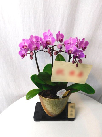 ミディ胡蝶蘭 ピンク 3本立ち 信楽焼鉢付き