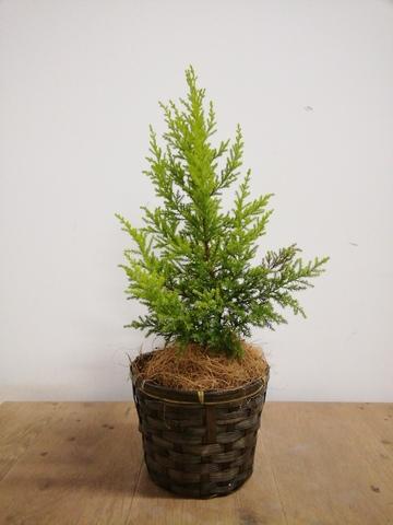 観葉植物 ゴールドクレスト 4号 ノーマル 竹バスケット 付き