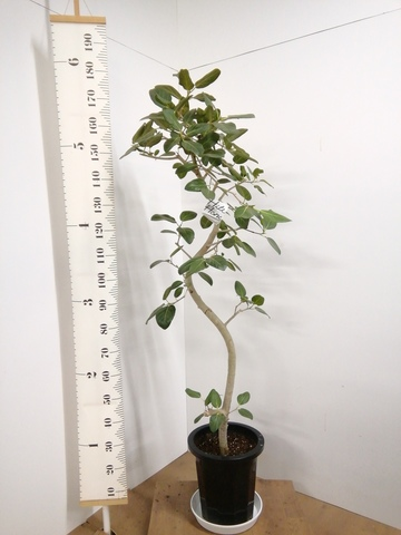 観葉植物 フィカス ベンガレンシス 10号 曲り プラスチック鉢