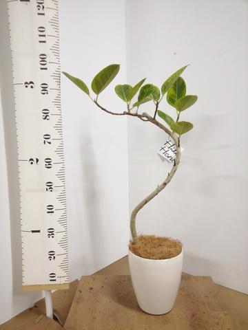 観葉植物 1点もの 【100cm】【鉢カバー付】フィカス アルテシーマ 6号 曲り #22135