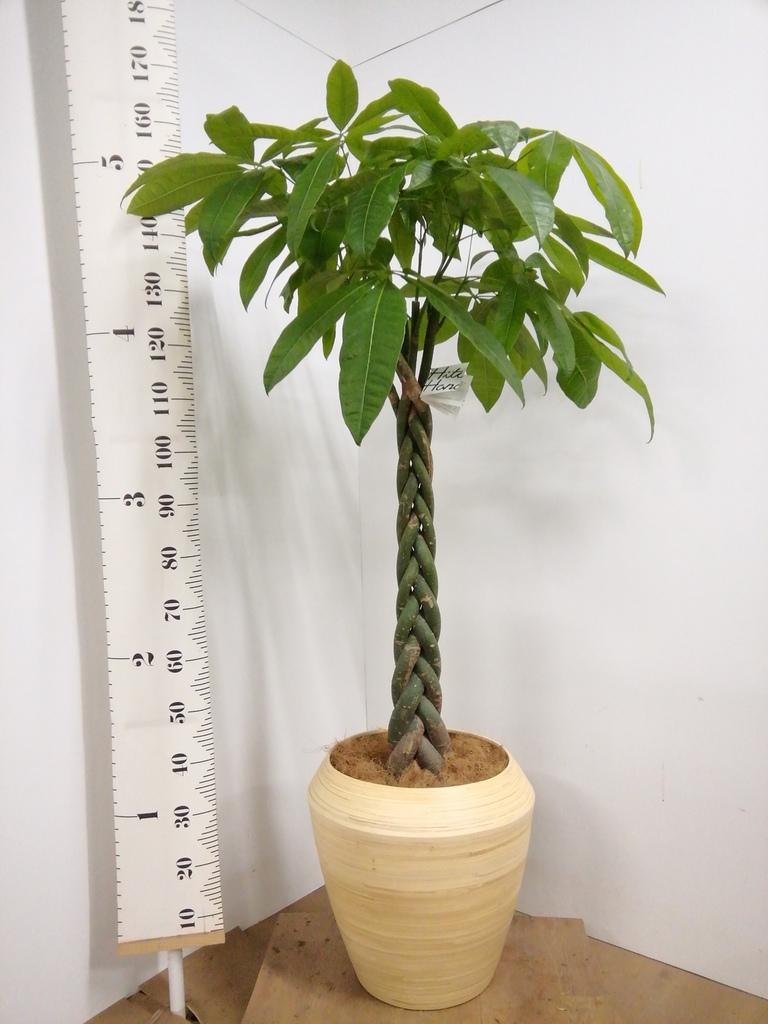 観葉植物 パキラ 10号 ねじり アルマ ミドル 付き