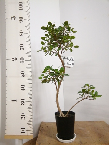 観葉植物 1点もの 【95cm】パンダガジュマル 6号 曲り #22583