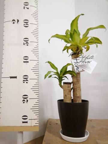 観葉植物 ドラセナ 幸福の木 6号 ノーマル プラスチック鉢
