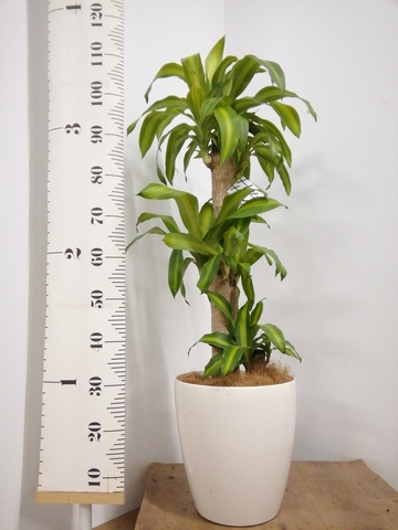 観葉植物   ドラセナ 幸福の木 8号 ノーマル ラスターポット 付き