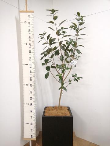 観葉植物 フランスゴムの木 10号 ノーマル ベータ キューブプランター 黒 付き