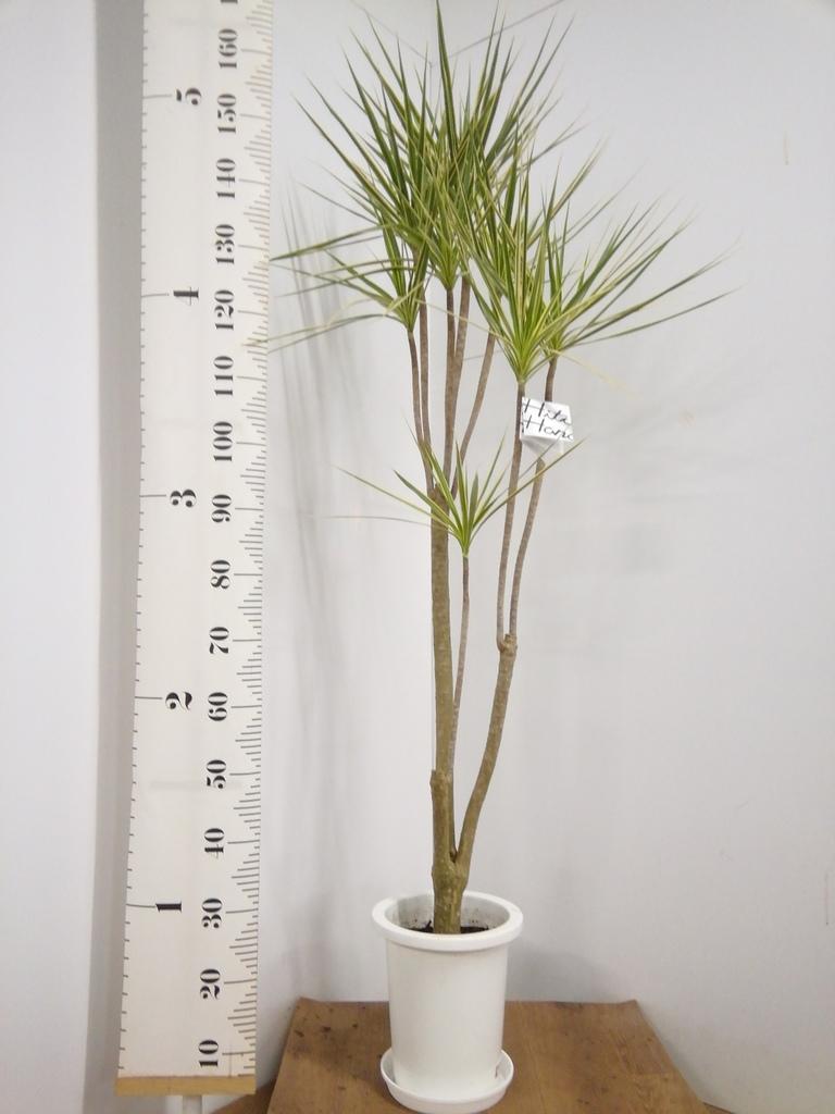 観葉植物 コンシンネ ホワイポリー 8号 ストレート プラスチック鉢