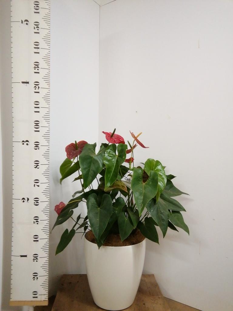観葉植物 アンスリウム 10号 ダコタ ラスターポット 付き