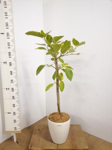 観葉植物 7号 ストレート  【125cm】【鉢カバー付】フィカス アルテシーマ 7号 #22139