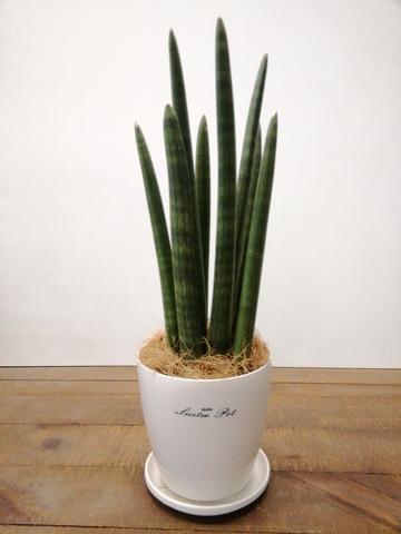 観葉植物 サンスベリア スタッキー 4号 ラスターポット 付き