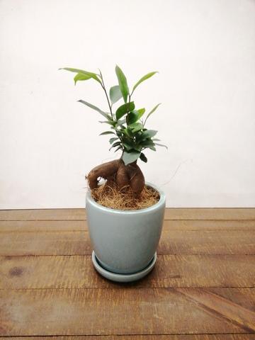 観葉植物 ガジュマル 4号 股仕立て アステア トール ライトグレー 付き