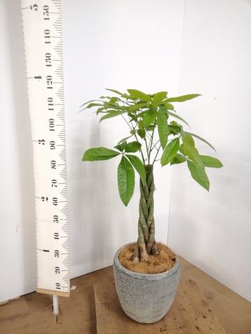 観葉植物 パキラ 8号 ねじり アビスソニア ミドル 灰 付き