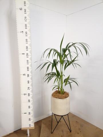 観葉植物 ケンチャヤシ 8号 ビトロ エンデカ 鉢カバースタンド付 クリーム 付き