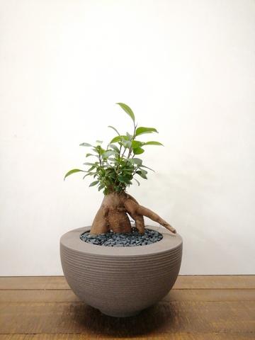 観葉植物 ガジュマル 4号 股仕立て Hemisphere 【L size】