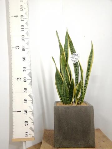 観葉植物 サンスベリア 8号 トラノオ コンカー キューブ 灰 付き