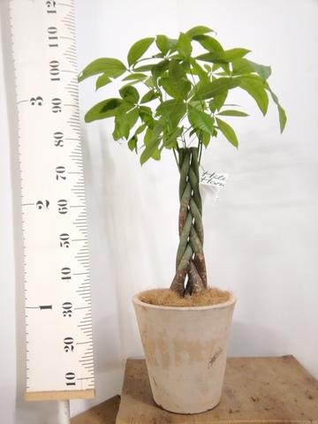 観葉植物 パキラ 8号 ねじり ルーガ アンティコ ソリッド 付き