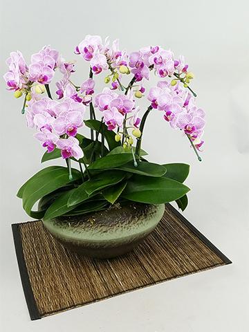 ミディ胡蝶蘭 リトルビビアン 5本立ち 和鉢まどか