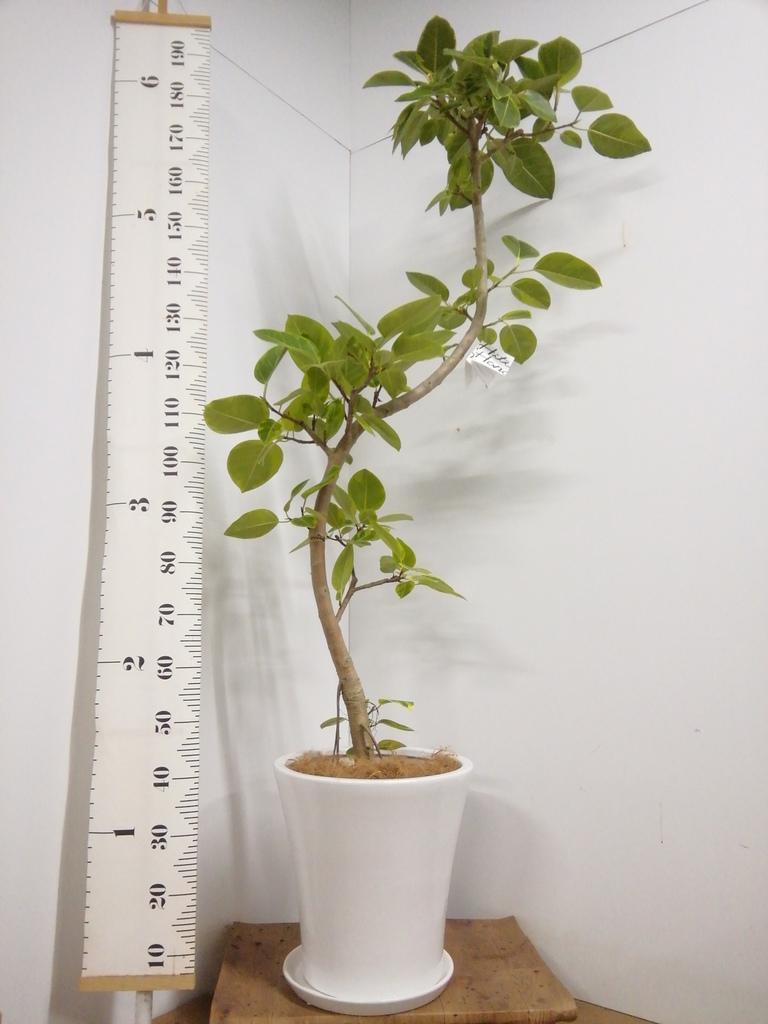 観葉植物 フィカス アルテシーマ 10号 曲り サブリナ 白 付き