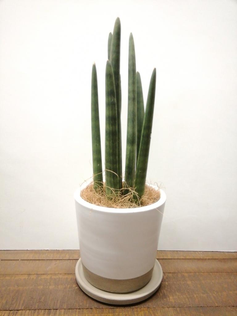 観葉植物 サンスベリア スタッキー 4号 マット グレーズ テラコッタ ホワイト 付き