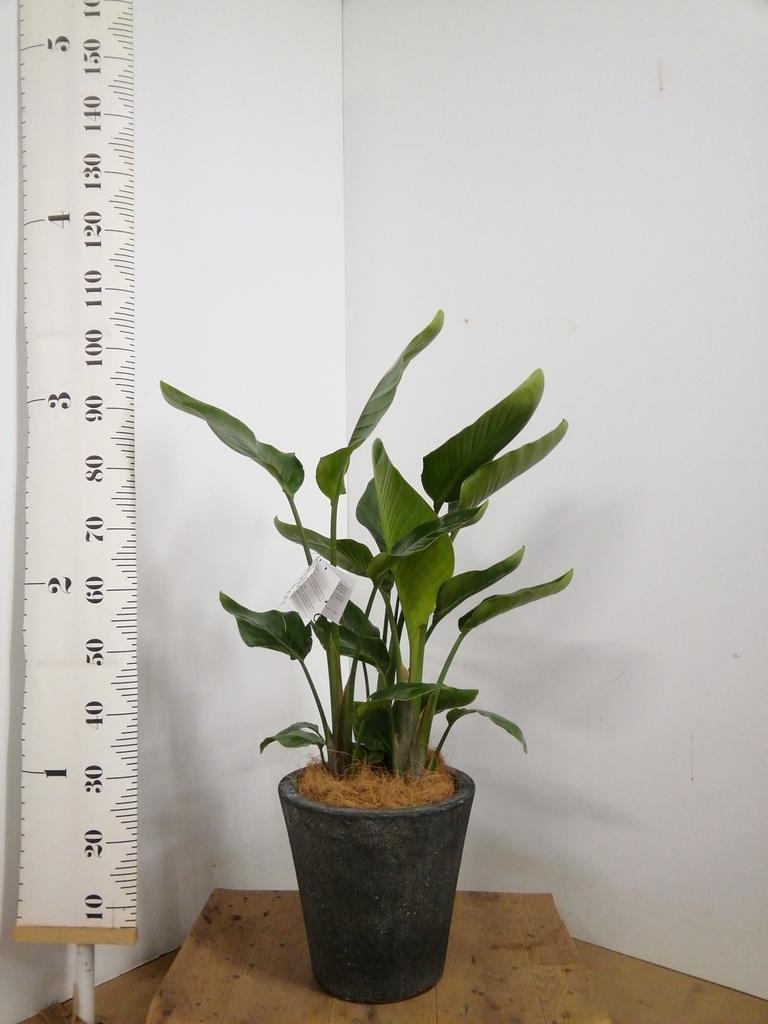 観葉植物 オーガスタ 8号 フォリオソリッド ブラックウォッシュ 付き