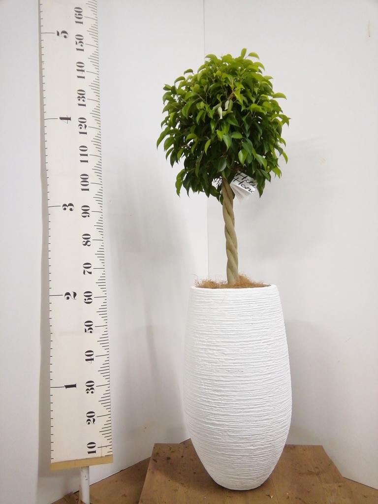 観葉植物 フィカス ベンジャミン 8号 玉造り フォンティーヌトール 白 付き