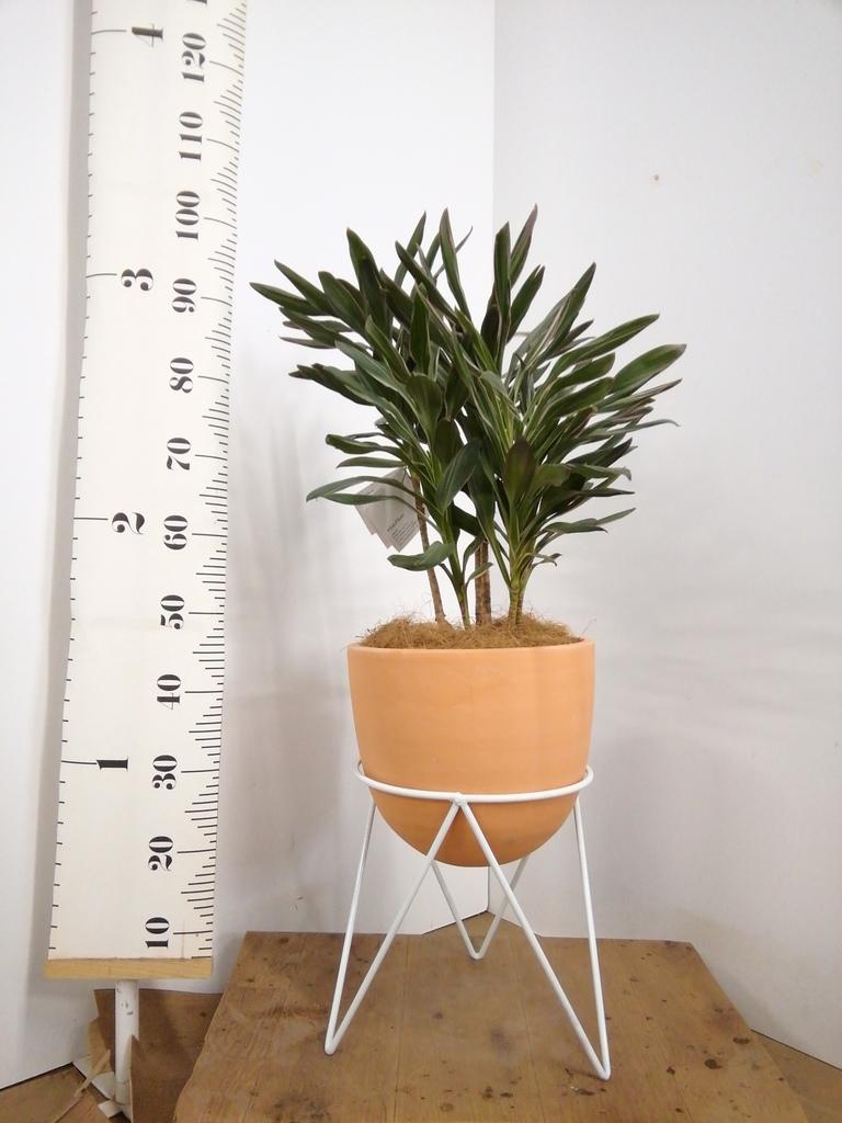 観葉植物 コルディリネ (コルジリネ) サンゴ 6号 インティ ラウンド アイアンポットスタンド ホワイト付き