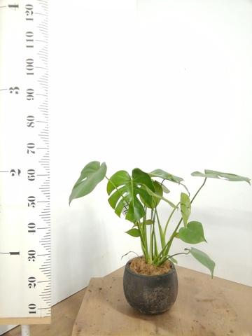 観葉植物 モンステラ 6号 ボサ造り フリットバルーンアンティークブラック 付き