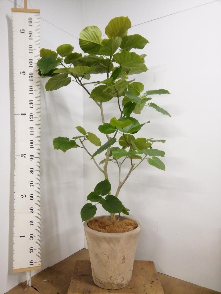 観葉植物 フィカス ウンベラータ 10号 ノーマル ルーガ アンティコ ソリッド 付き