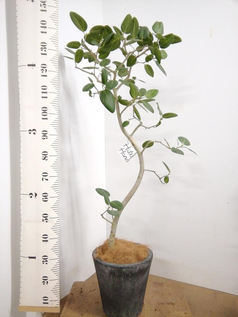 観葉植物 フィカス ベンガレンシス 8号 曲り フォリオソリッド ブラックウォッシュ 付き